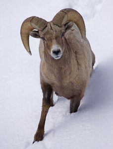 Bighorn Ram, Lamar Valley, Yellowstone. By Tom Reichner