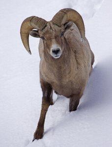 Bighorn Ram, Lamar Valley, Yellowstone.  By Tom Reichner