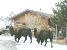 Yellowstone Bison saunter by Bill Hoppe's house near Gardiner, Mont.