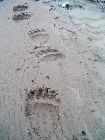 Grizzly bear tracks, NPS photo.