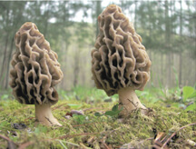 Hunting Morels, Trade Secrets