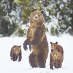 It's Long Past Time to Delist Yellowstone's Grizzlies
