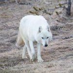 Who Shot Yellowstone's White Wolf?