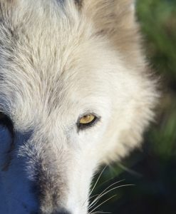 Meeting Wolves Face to Face—What's That Like?